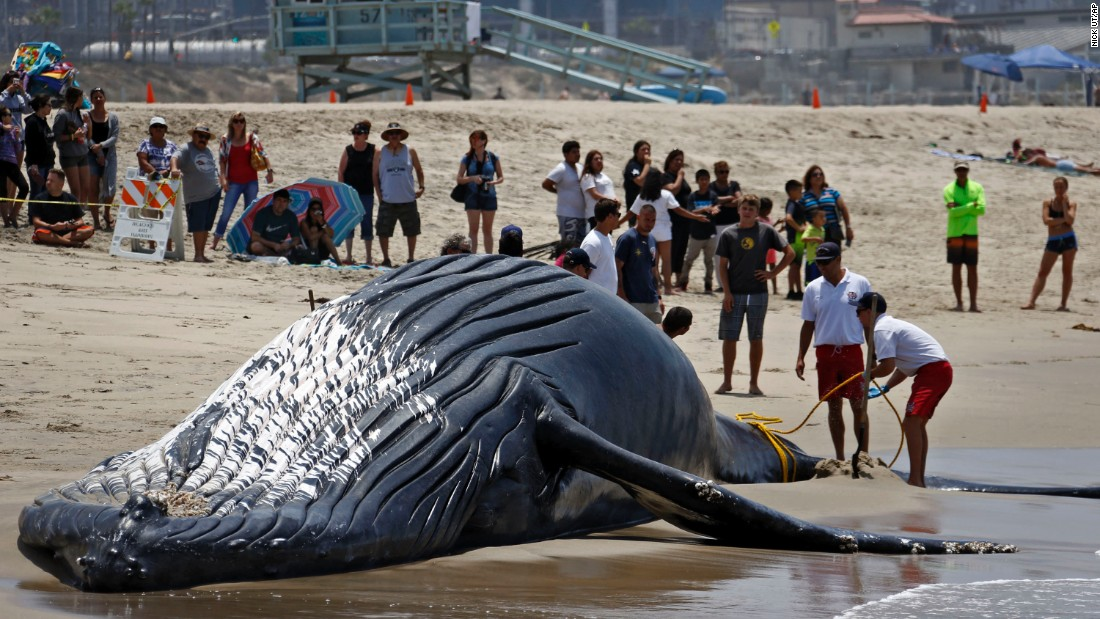 "Lifeguards tie a rope to a dead whale's tail on Friday, July 1, after it washed ashore along the Los Angeles coastline. The whale was towed back to sea so it could properly decompose, according to the <a href=""http://www.latimes.com/local/lanow/la-me-ln-dead-humpback-whale-playa-del-rey-beach-20160701-snap-story.html"" target=""_blank"">Los Angeles Times. </a>"