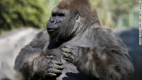 Bantu, a Silverback gorilla, hits its chest at the Chapultepec zoo in Mexico City on January 09, 2014. AFP PHOTO/OMAR TORRES        (Photo credit should read OMAR TORRES/AFP/Getty Images)