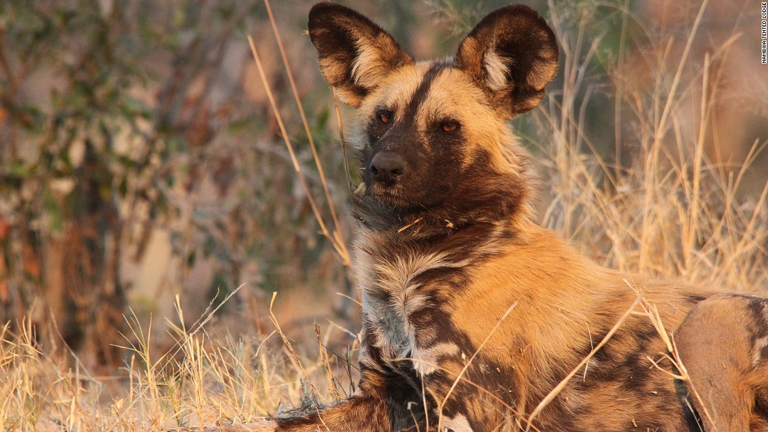 "The African wild dog is classified as an endangered species by the International Union for Conservation of Nature (IUCN), with the <a href=""http://www.worldwildlife.org/species/african-wild-dog"" target=""_blank"">current population</a> being estimated at around 6,600 adults."