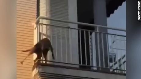 cnnee digital pkg perro salta del tercer piso polinya_00000503