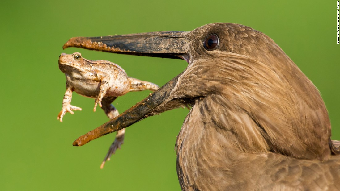 A hamerkop tosses a toad in its mouth at Kruger National Park in South Africa on Monday, July 11.