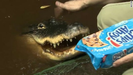 pizza eating pet alligator pkg_00011329.jpg
