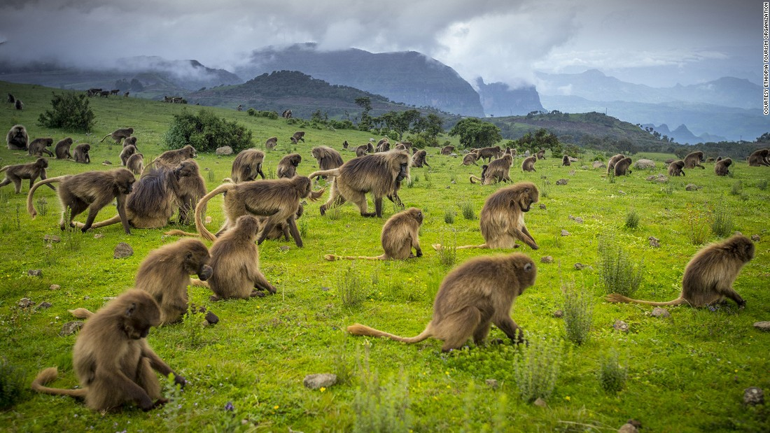 Ethiopia's highest mountain range, the Simiens, nurture an incredible array of native flora and fauna including animals like the gelada baboon, Ethiopian wolf and walia ibex. Scheduled to open in early 2017, a new luxury tented camp will complement basic facilities already available in the national park.