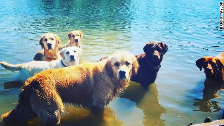Dogs cooling off in the river at Henley-on-Thames, UK