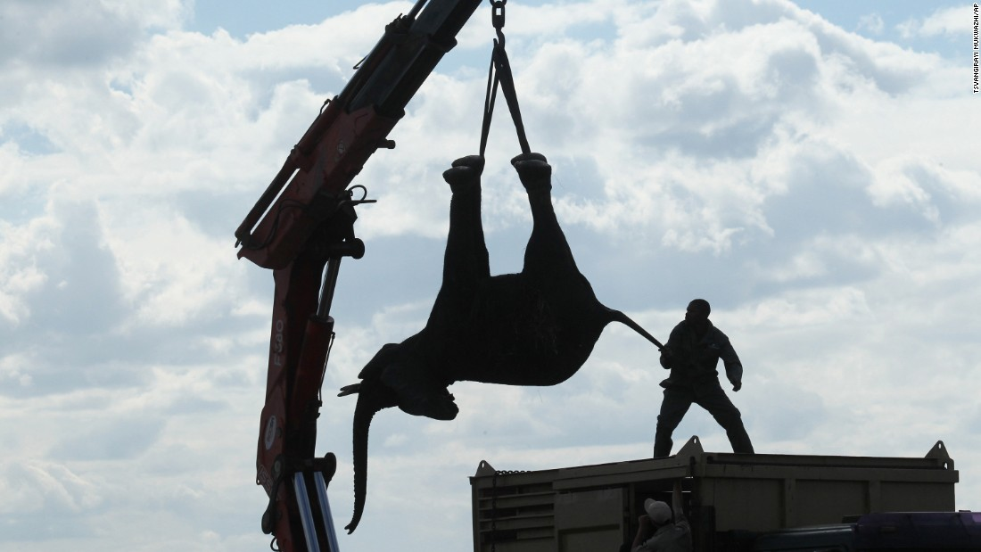 The elephants were first immobilized by darts, fired from a helicopter, before they were moved by truck and crane on a road trip of about 185 miles.