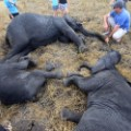 elephant relocation 7