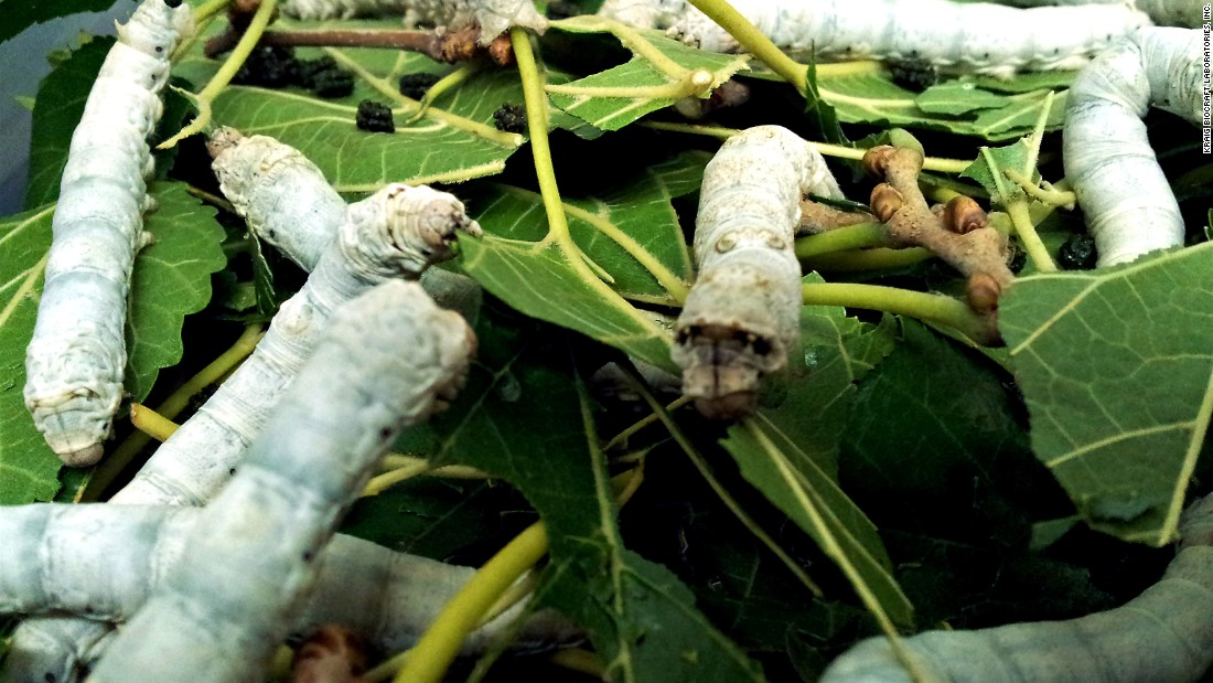 Genetically engineered silkworms feed on mulberry leaves. The modified silkworms can produce much more harvestable spider silk than spiders, according to Kraig Biocraft Labs.