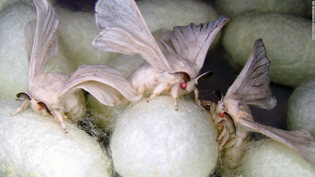 A group of genetically engineered silk moths. Silkworms produce cocoons in order to transform into silk moths and the cocoons can be harvested into silk. Kraig Biocraft Labs have engineered silkworms to produce spider silk in lieu of traditional silk.