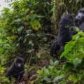 gorilla virunga 2