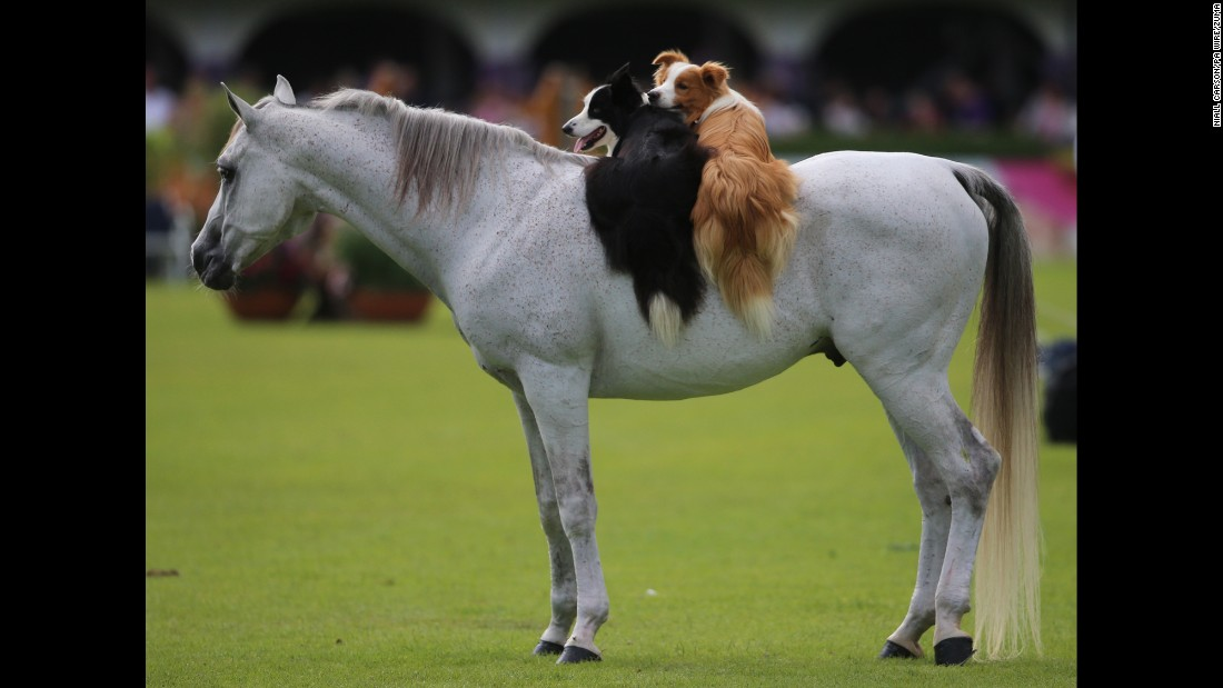 Two dogs ride on the back of a horse Sunday, July 24, during the Dublin Horse Show in Dublin, Ireland.