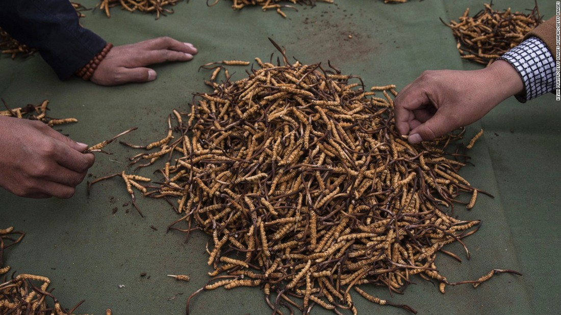 Cordyceps fungus, also known as caterpillar fungus, is a prized ingredient of traditional Asian medicinal treatments that purportedly heal ailments ranging from asthma to impotence to cancer. But there isn't much science to back up the claims.
