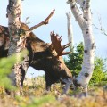 cape breton moose