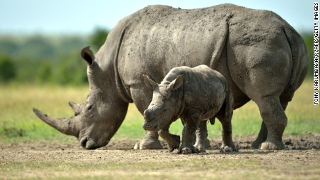 File photograph of a southern-white female rhino with her calf in Kenya.