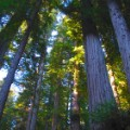 01 redwoods