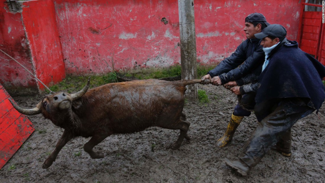 Men grab a bull by its tail as they try to load it into the back of a truck to be transported to Pillaro, Ecuador, on Saturday, July 30.