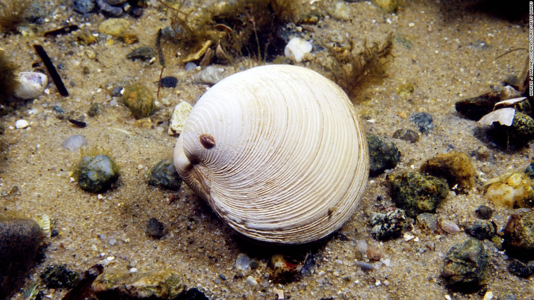 "It is common to find ocean quahogs aged 100 years or older, the <a href=""http://www.nefsc.noaa.gov/fbp/age-man/oq/oq.htm"" target=""_blank"">Northeast Fisheries Science Center</a> said. Scientists have recorded a maximum shell length of 5½ inches for this species of clam and estimate a maximum lifespan of 225 years. The bands around their shells, like rings within a tree, are marks of their age, researchers believe. A slower-growing clam, the ocean quahog usually requires two to four decades to fully mature. This clam has an extremely slow metabolism and low oxygen consumption, two factors that may contribute to long life."