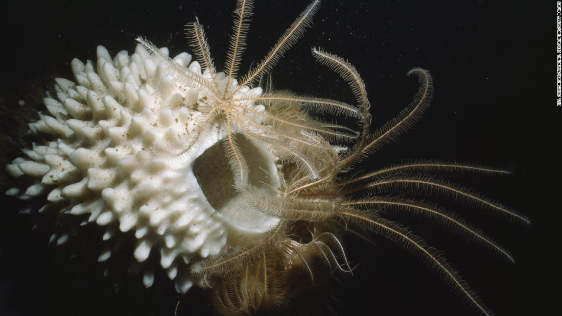 "A simple glance reveals the Antarctic sponge to be among the most primitive of animals. Yet these remote sea creatures have versatile feeding behaviors, can produce unique chemicals and can display complex developmental processes, according to the <a href=""http://www.antarctica.gov.au/about-antarctica/wildlife/animals/sponges"" target=""_blank"">Australian Antarctic Division</a>. Sponges grow extremely slowly in the low temperatures they inhabit. Along with other low-metabolism species, sponges enjoy long lifespans. In fact, researchers calculated one specimen to be 1,550 years old."