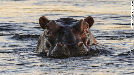 Hippos may be cute but they can be dangerous.