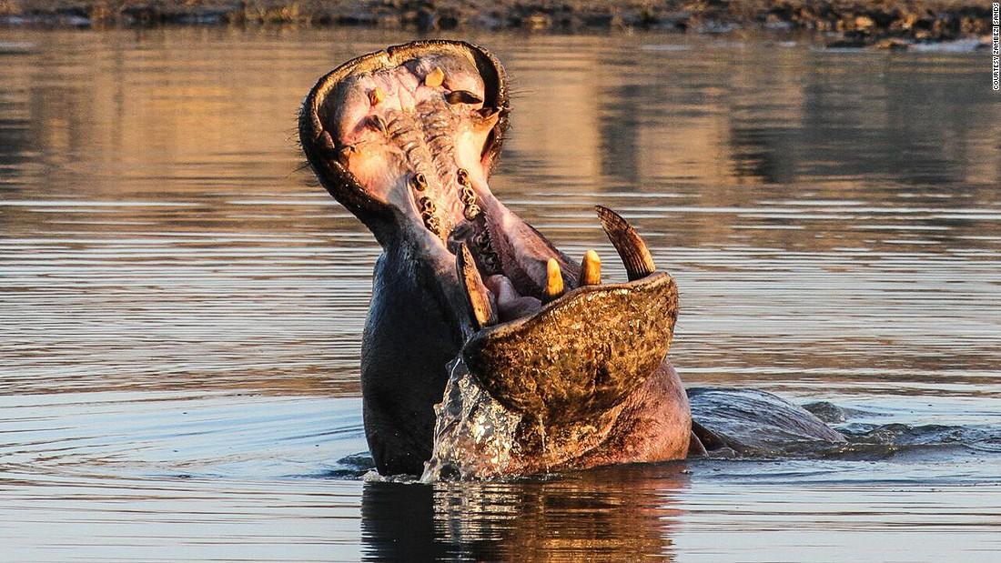 While often portrayed as goofy, awkward animals in cartoons (and board games), hippos can be aggressive toward humans, sometimes chomping them into three pieces using their giant teeth.