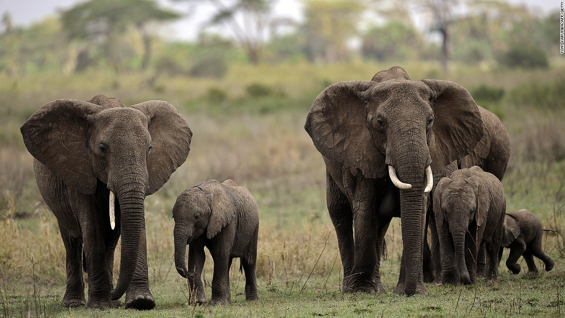 Elephants walk with elephant calves in the Serengeti National Park, which is Tanzania's oldest national park.