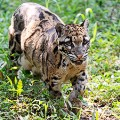 brunei spotted leopard