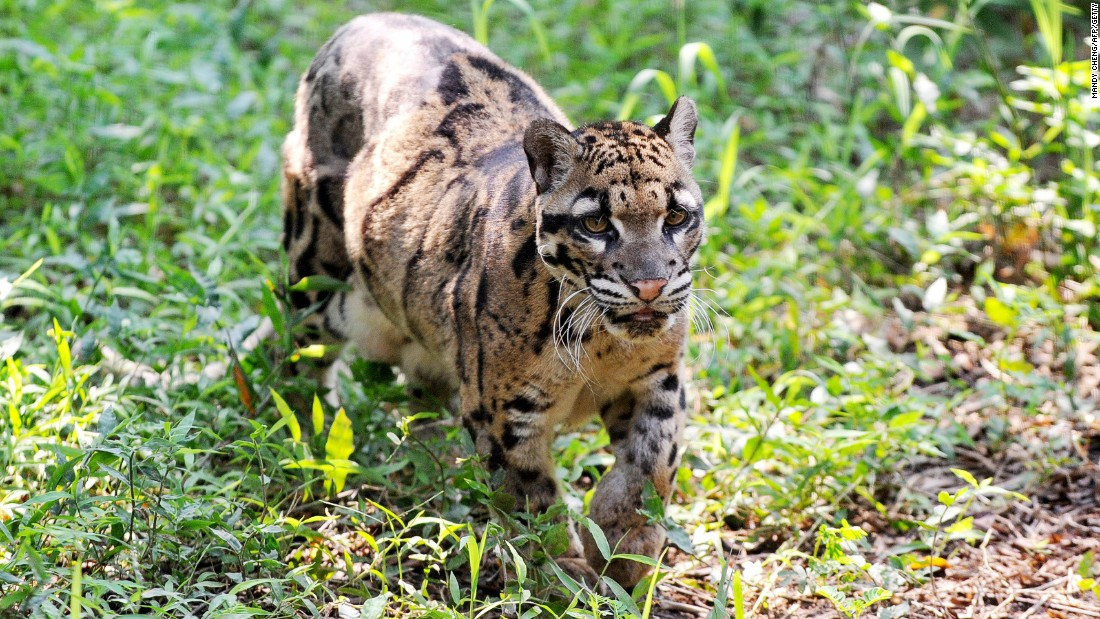 "The mighty Sunda clouded leopard can only be found in <a href=""http://www.wwf.org.au/our_work/wwf_global_work/wwf_global_flagship_species/clouded_leopards/"" target=""_blank"">Sumatra and Borneo</a>. Their numbers are decreasing in Brunei and spotting them in the wild has become very challenging, says Lin Ji Liaw, President of <a href=""http://www.bruwild.org/"" target=""_blank"">BruWild</a>, a conservation group working in the area. They are distinguished by the cloud-like patches on their fur and the largest canine fangs relative to their bodies in any living cat species. Despite the name they are of a <a href=""http://www.livescience.com/11632-clouded-leopard-species-2-unique-types.html"" target=""_blank"">separate genus</a> to leopards and other large cats like panthers and tigers. They are camera-shy predators and the one pictured lives at Taipei Zoo."