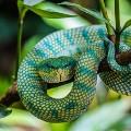 borneo keeled pit viper
