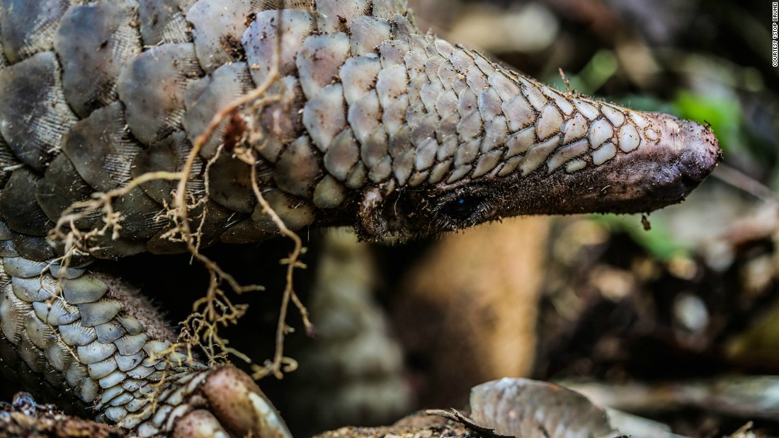 "The pangolin, one of the most poached animals in the world, also live here. There are <a href=""http://www.pangolinsg.org/"" target=""_blank"">eight species</a> of pangolins in total -- four in Africa and four in Asia -- and all are either endangered or critically endangered. Habitat loss and illegal wildlife trade are among reasons for some of its decline."