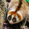 brunei slow lorris2