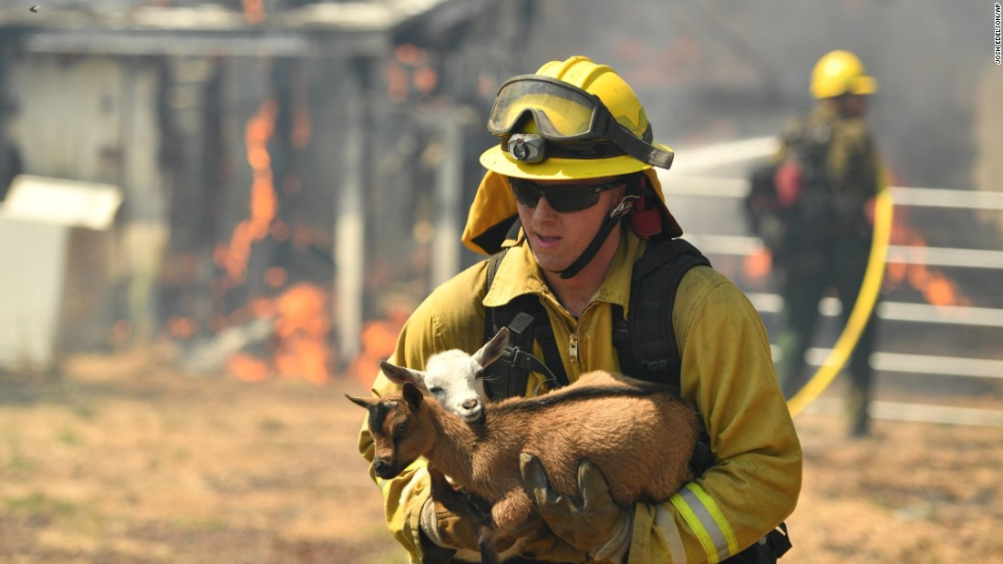 A firefighter rescues a pair of goats from a burning house as flames envelope a property in Lower Lake, California.