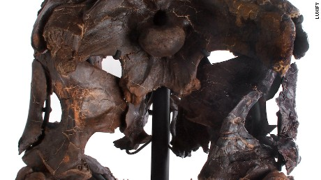 The back view of the Rees Rex skull.