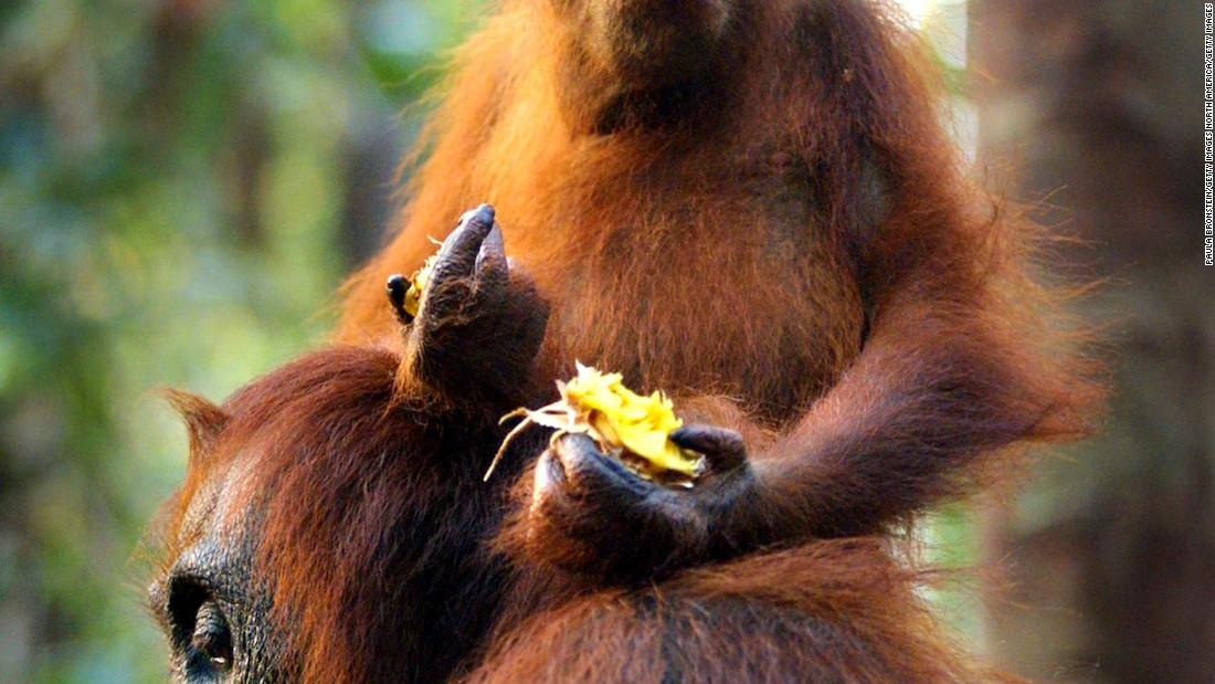 The Lesan forest area is home to one of Borneo's largest populations of wild orangutans, although the vegetation is so thick that sightings aren't guaranteed.