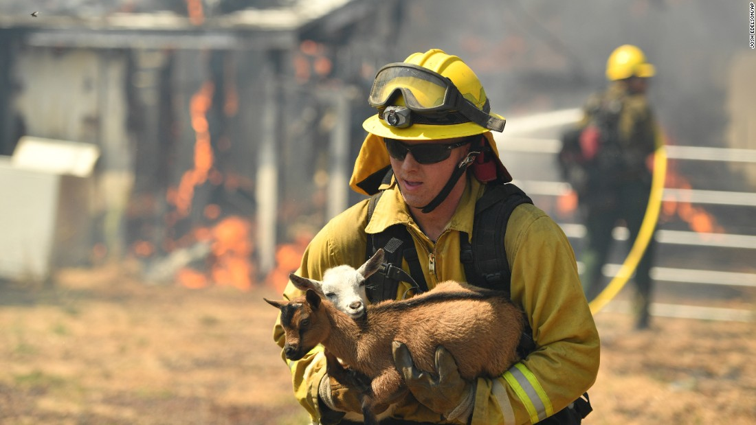 A firefighter rescues a goat from a burning home in Lower Lake on Sunday. By Monday (August 15) afternoon, the Clayton fire had grown to more than 4,000 acres.