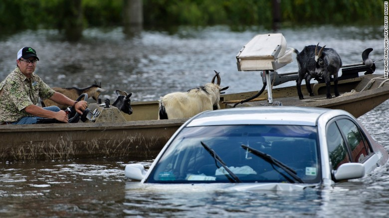 A man navigates a boat of rescued goats past a partially submerged car after flooding on August 16 in Gonzales, Louisiana.