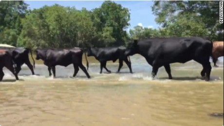 Cattle rescued in Louisiana flood