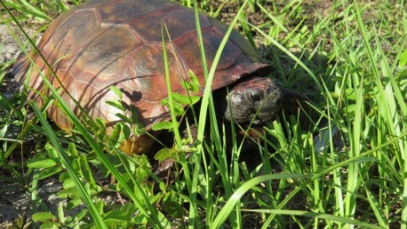 It takes several cleaning sessions to remove paint off of the gopher tortoise, Florida wildlife officials said.