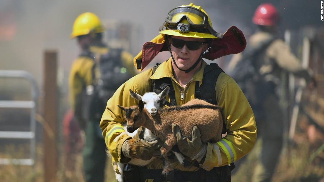 "A firefighter rescues goats from a wildfire in Lower Lake, California, on Sunday, August 14. The Clayton Fire <a href=""http://www.cnn.com/2016/08/15/us/northern-california-wildfire/"" target=""_blank"">has also forced thousands of people to flee their homes.</a>"