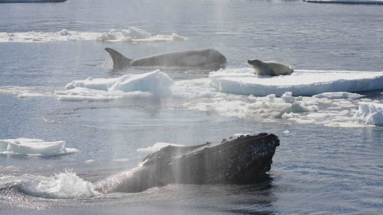 Humpback whales could be oceans' superheroes