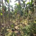 Taiwan betel nut trees