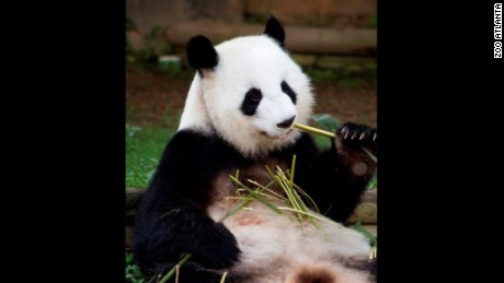 Giant panda mom Lun Lun is expecting twins at the Atlanta Zoo, again!