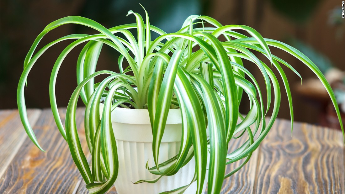 "Chlorophytum comosum, a kind of spider plant, can take up more than 90% of <a href=""https://pubchem.ncbi.nlm.nih.gov/compound/o-xylene#section=Use-and-Manufacturing"" target=""_blank"">o-Xylene, found in fuels</a>, and <a href=""https://pubchem.ncbi.nlm.nih.gov/compound/p-xylene#section=Use-and-Manufacturing"" target=""_blank"">p-Xylene, found in plastic and rubber products</a>. Smokers may also want to keep this plant around: Over a few days, it can absorb 90% of formaldehyde and carbon monoxide, ingredients of cigarette smoke."