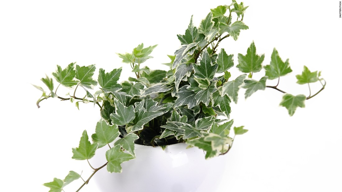 "Another plant for cigarette smokers or those who are sensitive to smoke: hedera helix, or English ivy. It is also <a href=""http://journals.usamvcluj.ro/index.php/promediu/article/view/9953"" target=""_blank"">recommended for those who have asthma</a>."