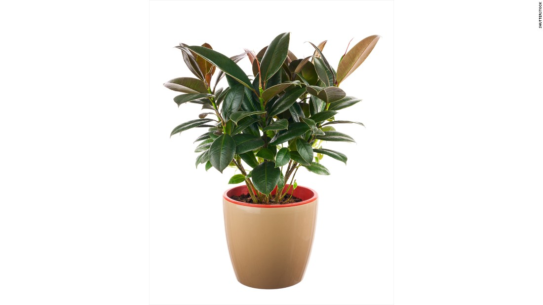 "If your house smells, invest in a ficus elastica. The plant <a href=""http://journals.usamvcluj.ro/index.php/promediu/article/view/9953"" target=""_blank"">absorbs odors and reduces the number of microorganisms and the amount of toxic substances</a>."