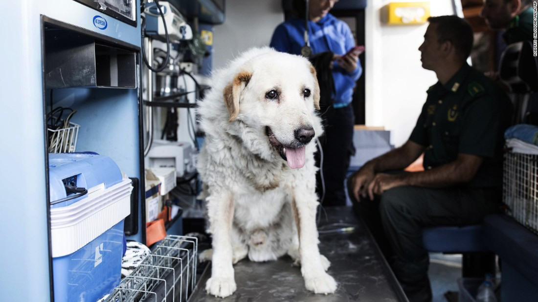 A rescued dog receives treatment in a veterinary care unit in Amatrice, Italy on August 28.