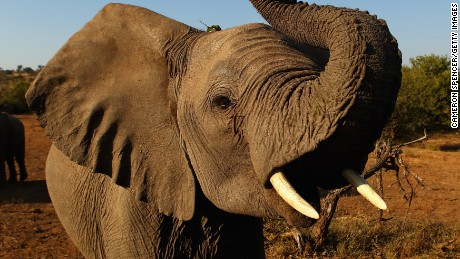 A third of Africa's elephants wiped out in 7 years