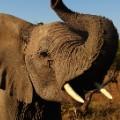 Elephant Botswana Tease