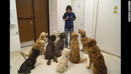Dogs are listening to their trainer, Márta Gácsi.