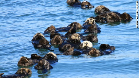 "Sea otters often rest in groups called ""rafts."""