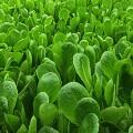 aerofarms romaine lettuce