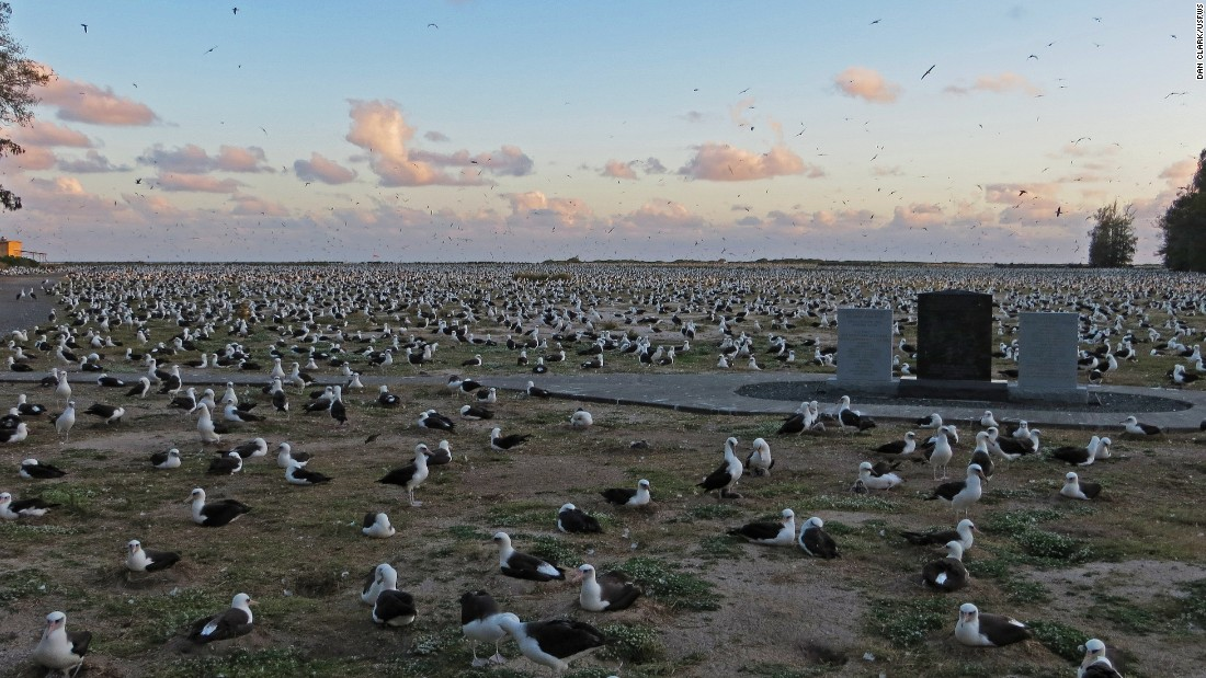 Roughly 1.5 million Laysan albatross nest on Midway during high season.